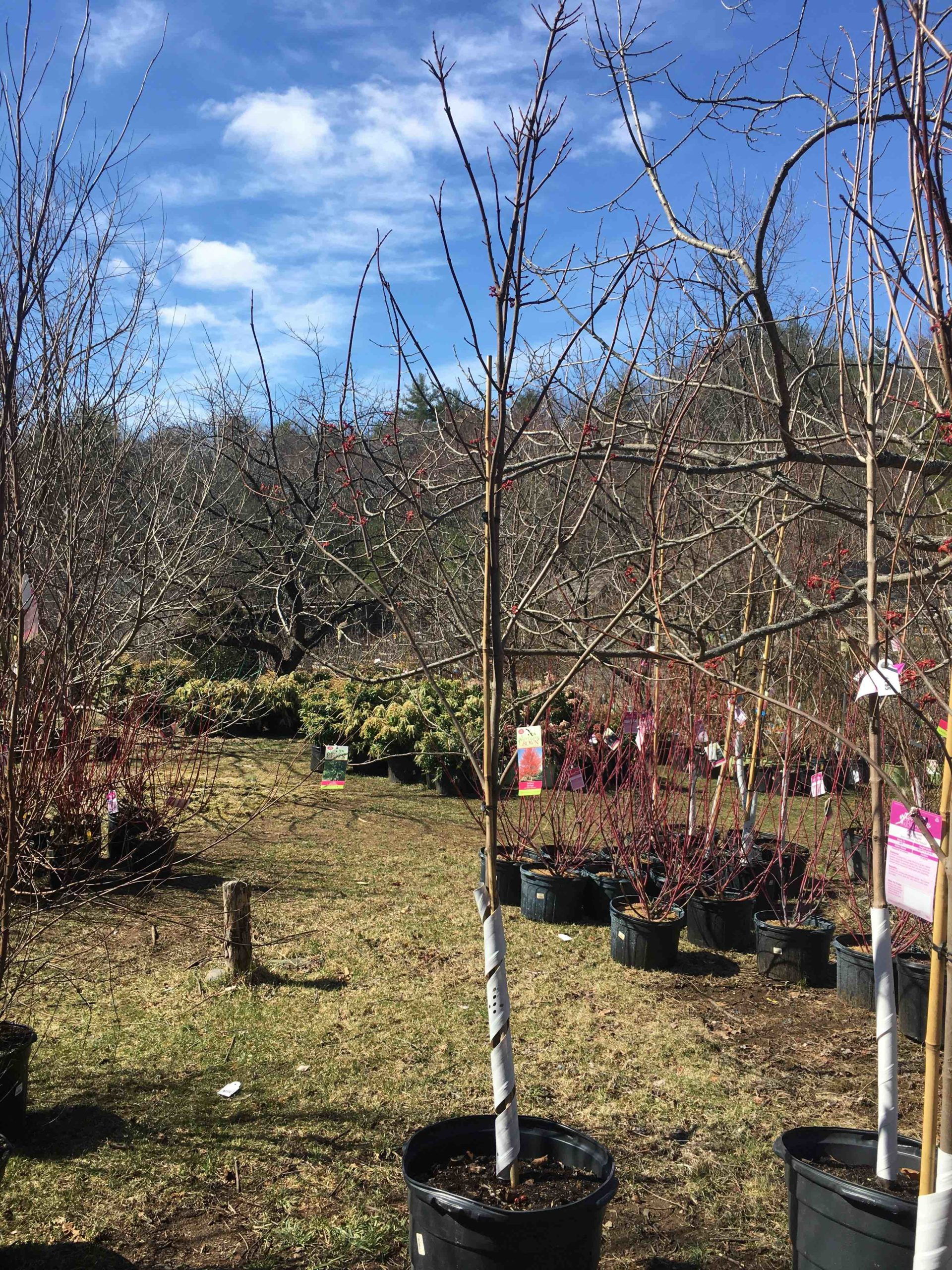 Acer Rubrum Red Sunset 174 Red Maple 15 Gallon Catskill