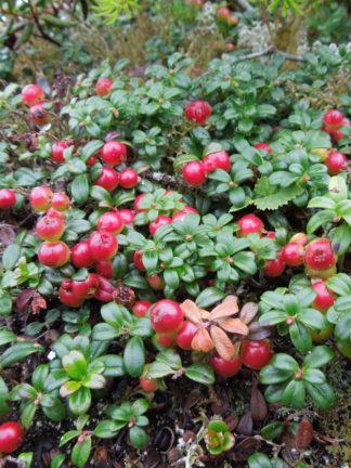 Alpines/Rock Garden