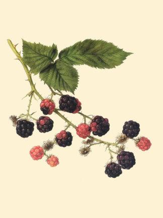 Blackcap Raspberries