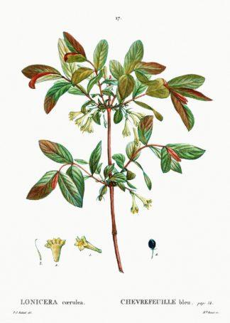 Honeyberries